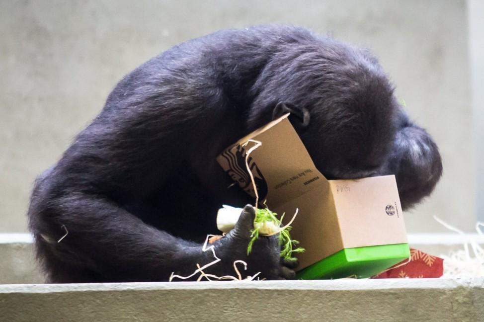 Weihnachtspäckchen für die Menschenaffen