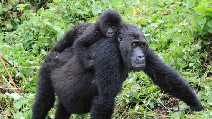 Artenschutz: Weil der Genpool der Östlichen Flachlandgorillas verarmt, sind die Tiere anfälliger für Krankheiten.
