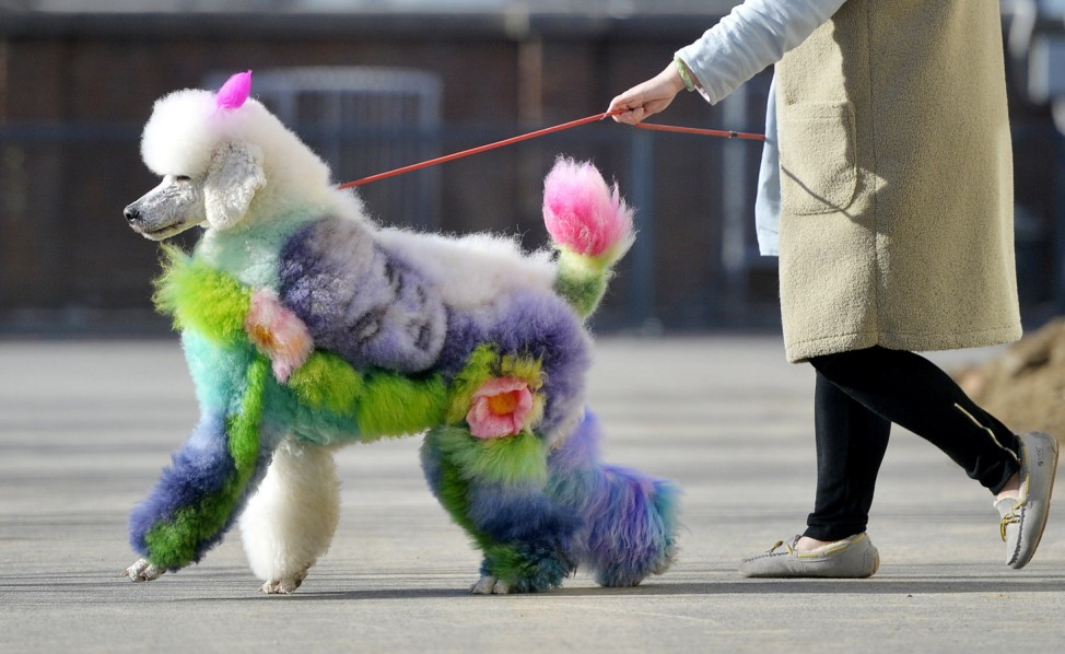 Woman walks a dog with styled and dyed fur on a street in Shenyang