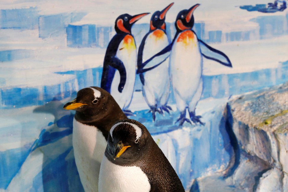 Gentoo penguins are seen in a zoo before a promotional event during an annual ice festival in the northern city of Harbin