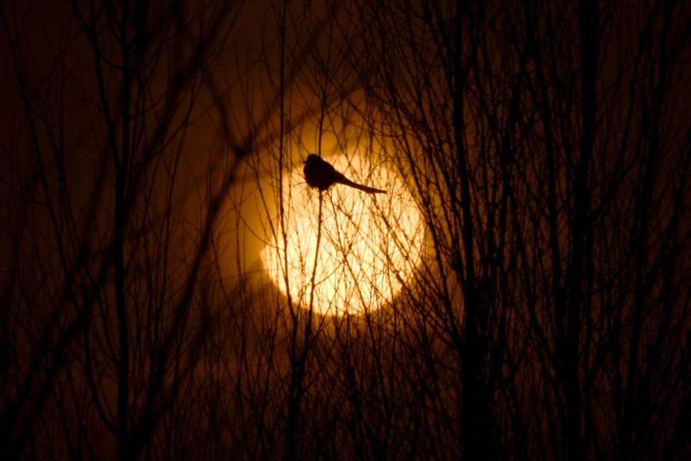 A partial solar eclipse is seen through a silhouette of a bird sitting on tree branches in Yinchuan