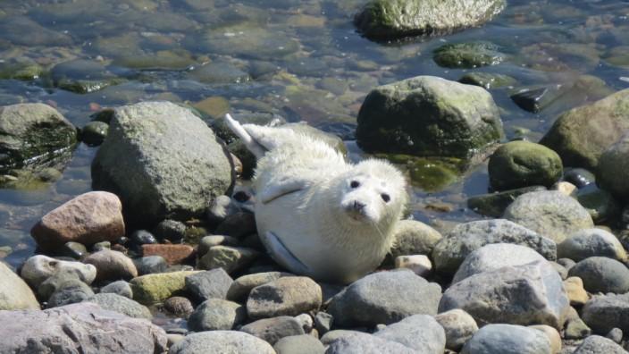 Ostsee: Eines der ersten Kegelrobben-Jungtiere in der Ostsee wurde vergangenen April auf der Greifswalder Oie, einer Insel vor Rügen, gefunden.