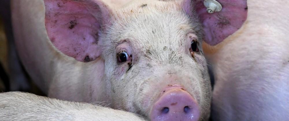 Tierhaltung - Schweine