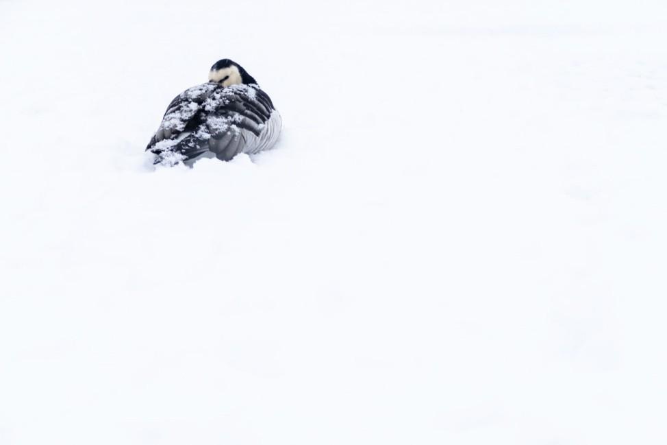 Gans im Schnee