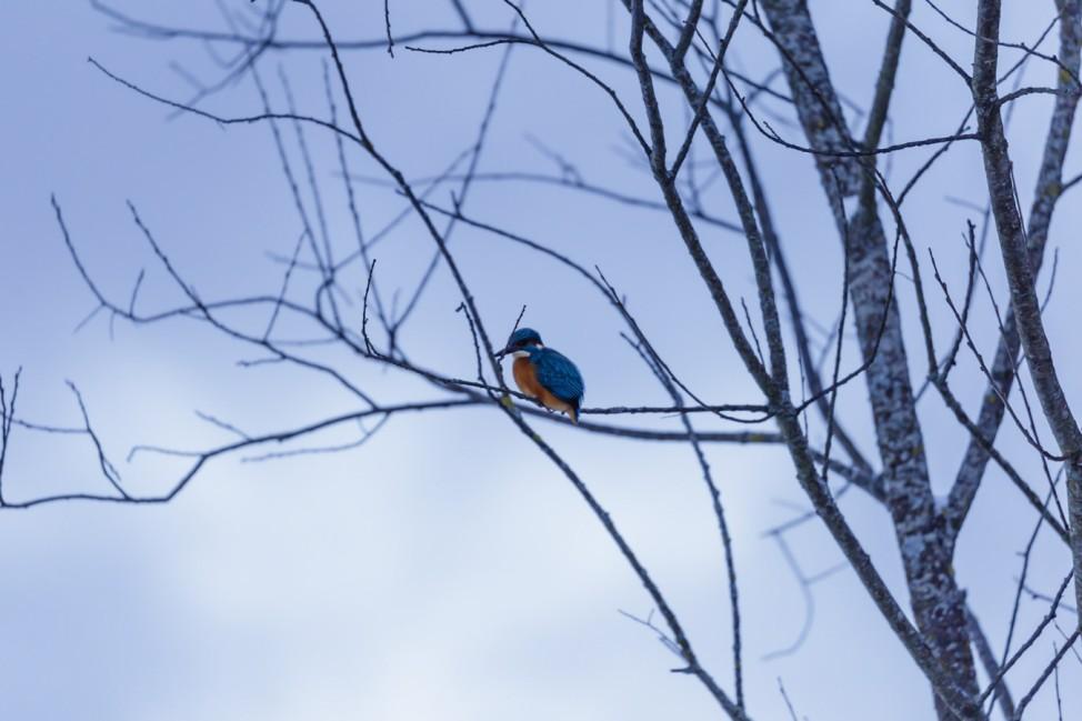 Eisvogel auf einem kahlen Baum
