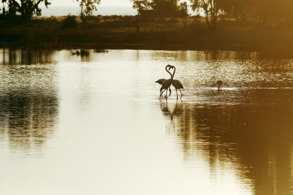Flamingos are seen in a salt lake near Larnaca