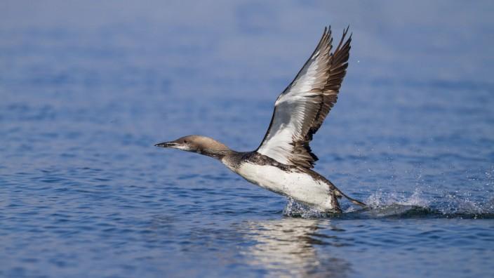 Prachttaucher Pracht Taucher Gavia arctica startet vom Wasser Deutschland black throated diver