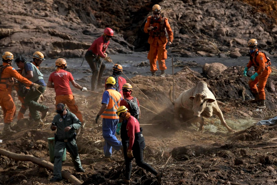 A cow is rescued after a tailings dam of Brazilian miner Vale SA collapsed in Brumadinho
