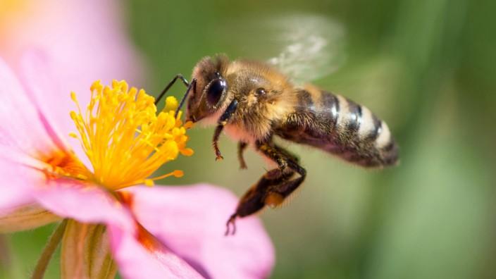 Insektenschwund: NRW lässt Fliegen undBienen zählen