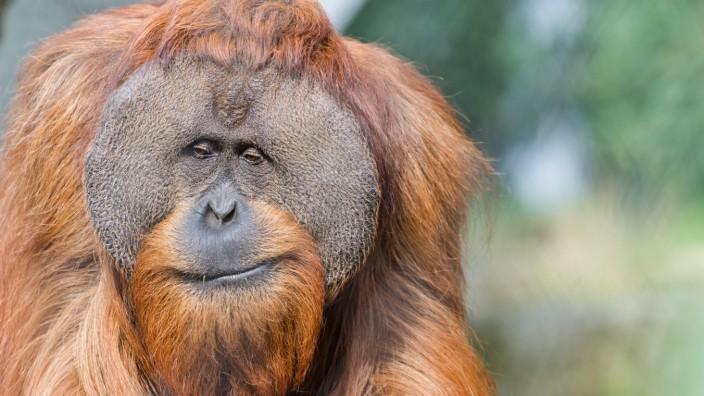 Ein Fall von Fremdgehen im Basler Orang-Utan-Gehege