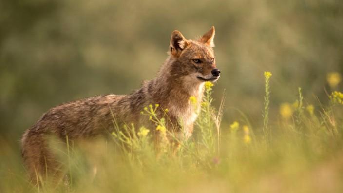 Goldschakal Gold Schakal Canis aureus steht auf einer Wiese Seitenansicht Rumaenien Biosphaer