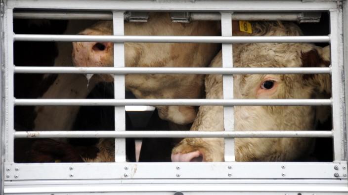 Verstöße gegen den Tierschutz: Die Ausfuhr von Rindern gilt als lukratives Geschäft. Für die Tiere ist es eine Tortur, wenn sie über Tausende Kilometer transportiert werden.