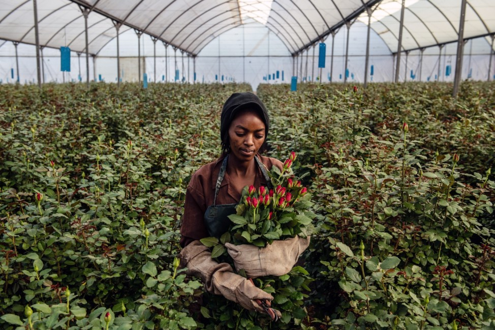 Flower Farming In Kenya, Worlds Fourth-Largest Cut-Flower Exporter