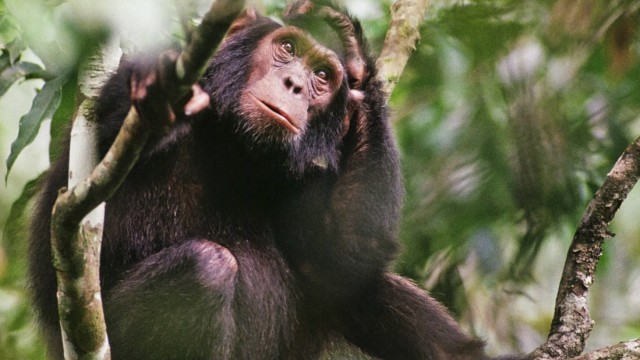 Young wild Chimpanzee Pan troglodytes schweinfurthii Tongo Virunga National Park Kivu Democrati