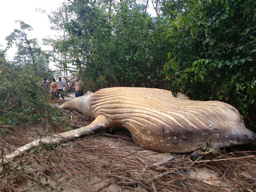 Biologists from the NGO Bicho D'agua check a humpback whale, that according to them was found dead inside a mangrove in Ilha do Marajo