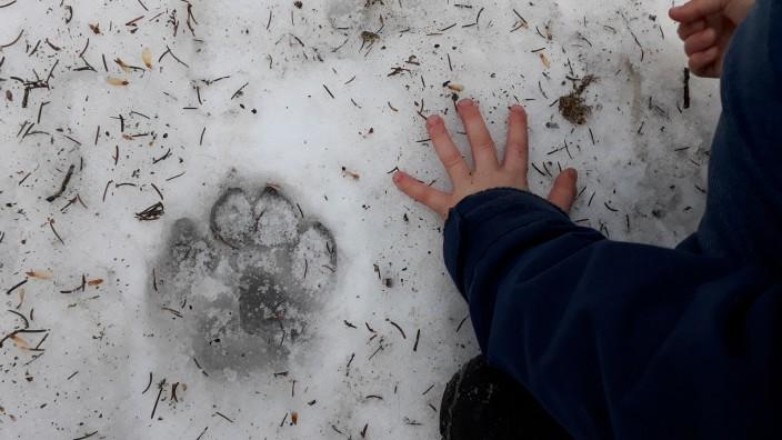 Tierspur Tatze im Ebersberger Forst, danaben die Hand von Ella, 6 Jahre alt