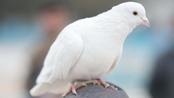 Weiße Tauben in Afghanistan