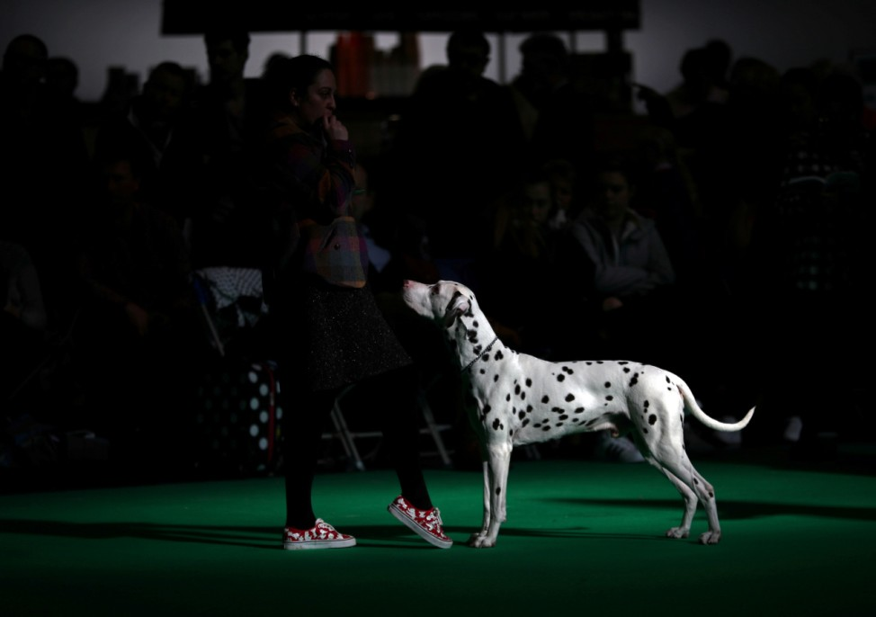 A Dalmatian is judged during the final day of the Crufts Dog Show in Birmingham