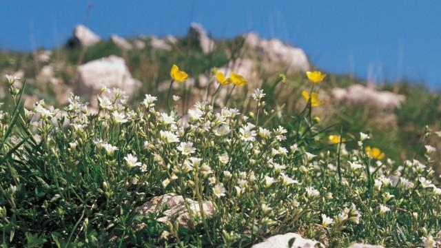 Monte Baldo am Gardasee: Hochalpine Flora auf dem Monte Baldo