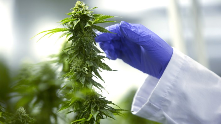 Inside The Delta 9 Cannabis Inc. Facility As Canada Set To Legalize Marijuana