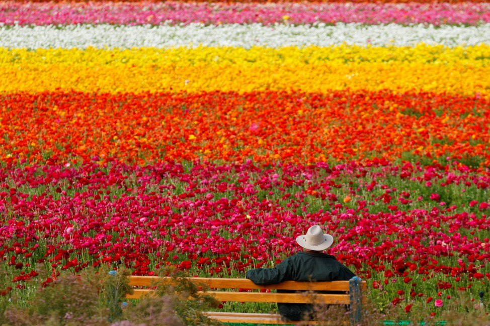 A visitor looks at the Flower Fields at Carlsbad Ranch as he enjoys nearly 50 acres of blooming giant Tecolote ranunculus flowers in Carlsbad