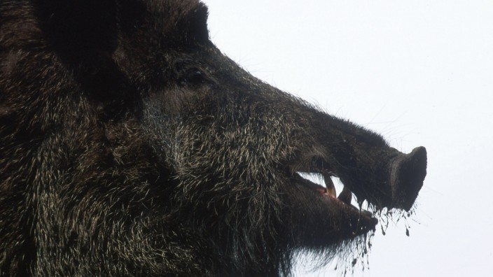 137 / Wildschwein