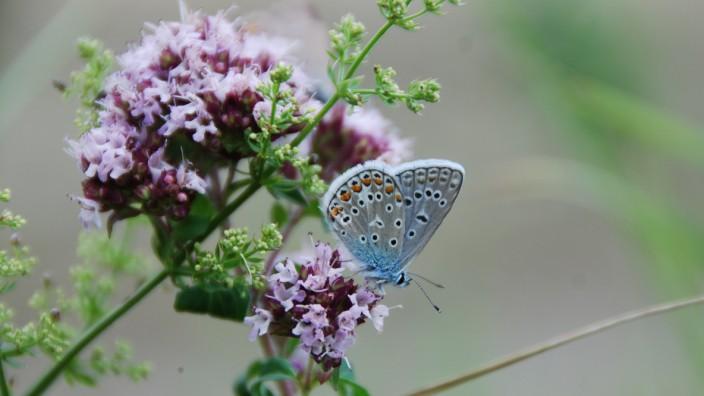 Insektensterben: Der Hauhechelbläuling ist in der Agrarlandschaft sehr selten.