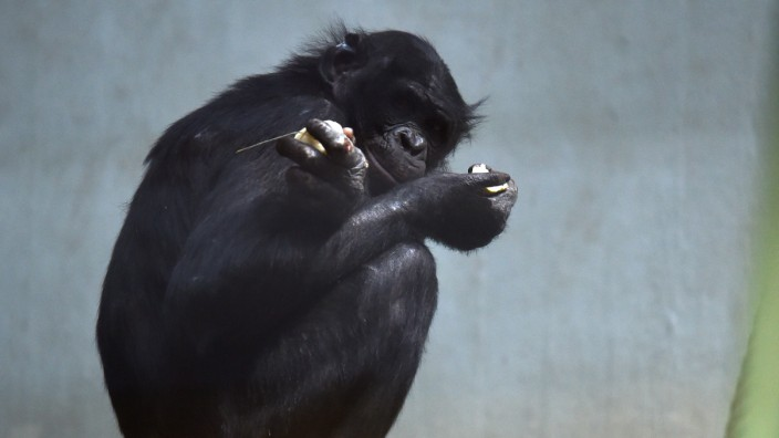 Bonobo-Affe Bili