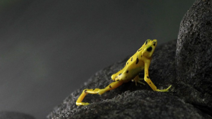 A Panamanian Golden frog is seen inside an exhibition glass during the Golden Frog Day in the Nispero Zoo at the Valle de Anton