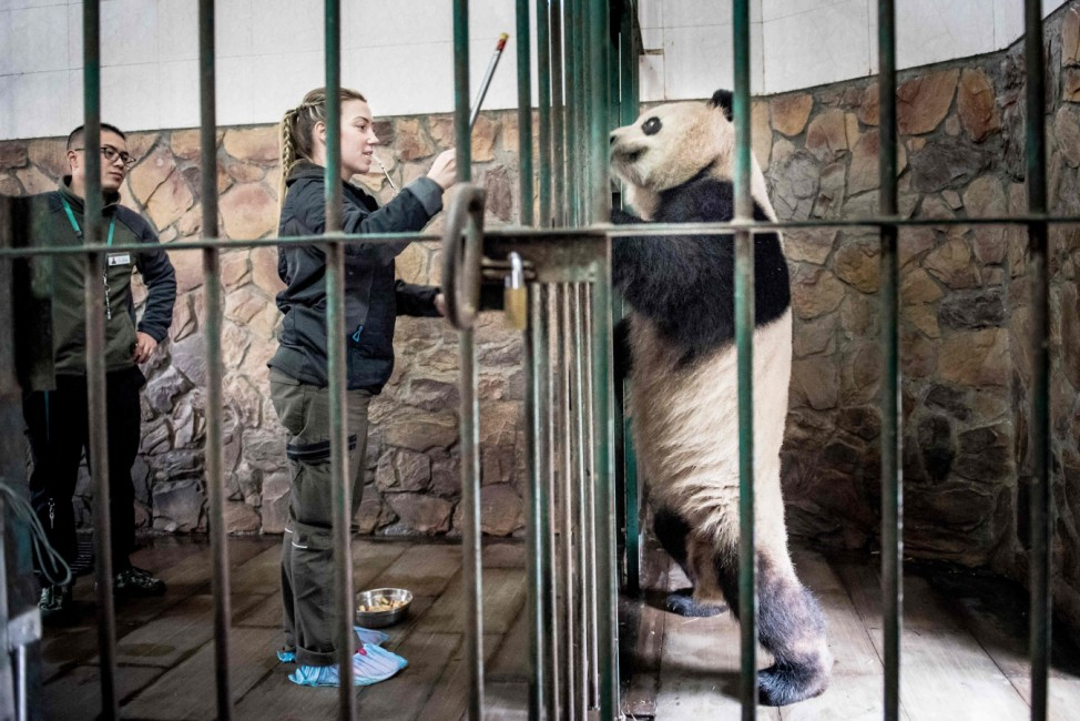 Preparations before two pandas travel to Denmark