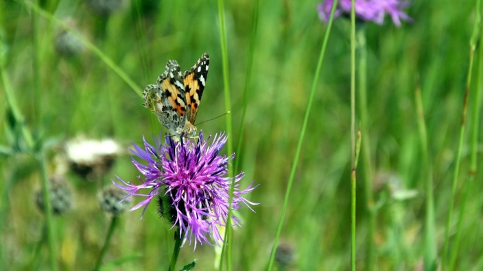 Schmetterling Wiese Artenvielfalt