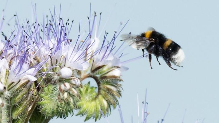 Hummel fliegt Phacelia-Blüte an