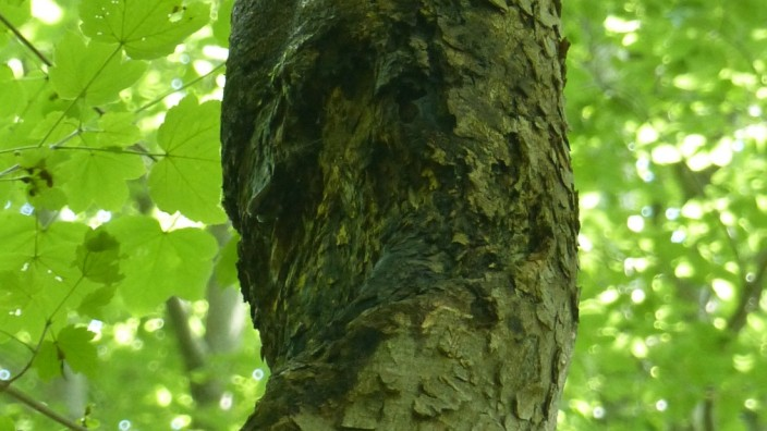 Natur: Der Ahorn-Stammkrebs tritt in etwa drei Metern Höhe auf. Bisher wurde er nur an der Isar um München gefunden.