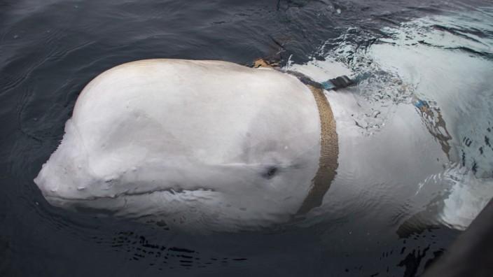 Norwegische Fischer befreien Beluga-Wal von Geschirr