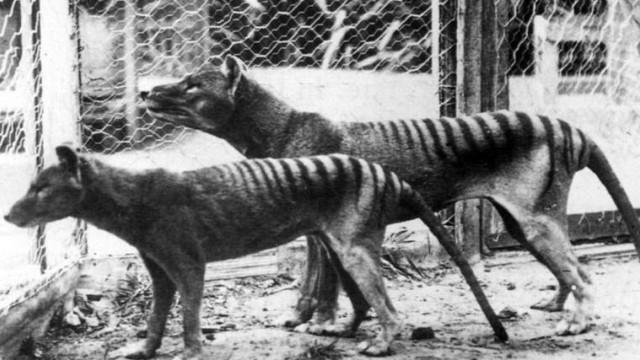 Now extinct Tasmanian Tiger thylacine in Hobart Zoo Tasmania Australia 1933 WHA PUBLICATIONxINxG