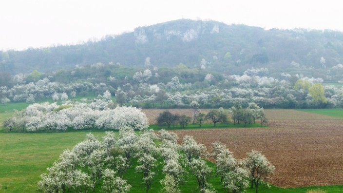 Umweltschutz in Bayern: Einstmals: Eine Streuobstwiese mit blühenden Bäumen in der Fränkischen Schweiz, im Hintergrund ist das Walberla zu sehen.