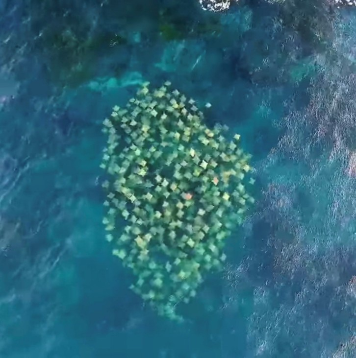 A school of cownose rays swim off the coast of Syndey