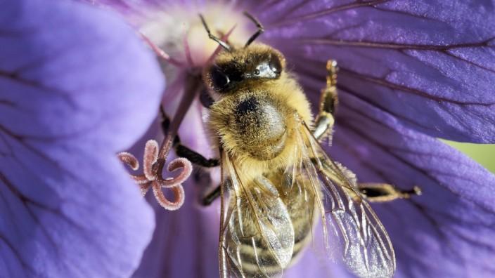 Artenschutz in der Stadt: Mehr Artenschutz auf gesetzlicher Ebene zu fordern, ist das eine - doch gerade für Bienen kann auch im Kleinen jeder etwas tun.