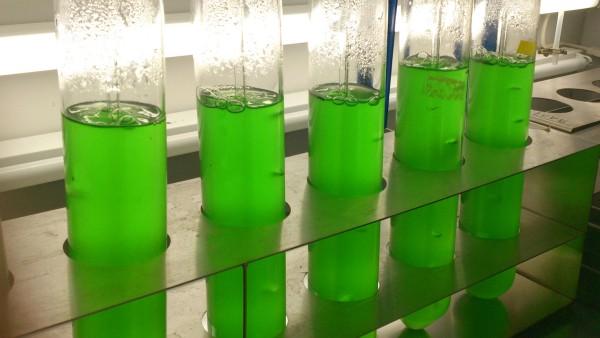 Cyanobakterien im Labor: Der neue Wirkstoff wurde aus Kulturen des Süßwasser-Cyanobakteriums Synechococcus elongatus isoliert. Foto: Klaus Brilisauer; Pressebilder Uni Tübingen: Chemische Struktur der 7dSh  Abbildung: Klaus Brilisauer
