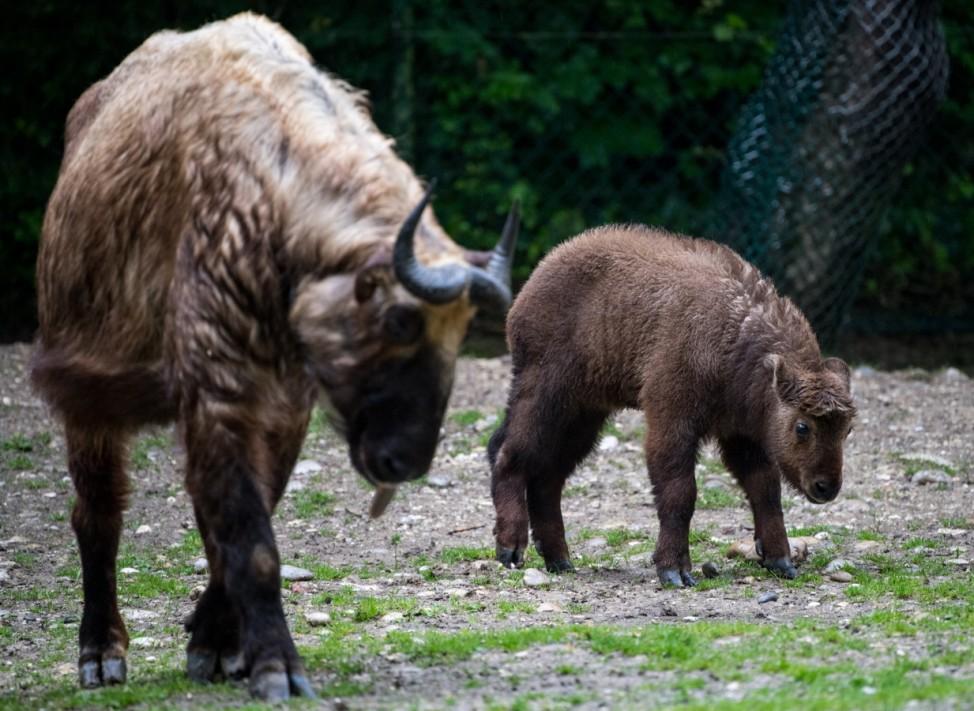 Tierpark Hellabrunn - Takin Jungtier; Tierkpark Hellabrunne Takine