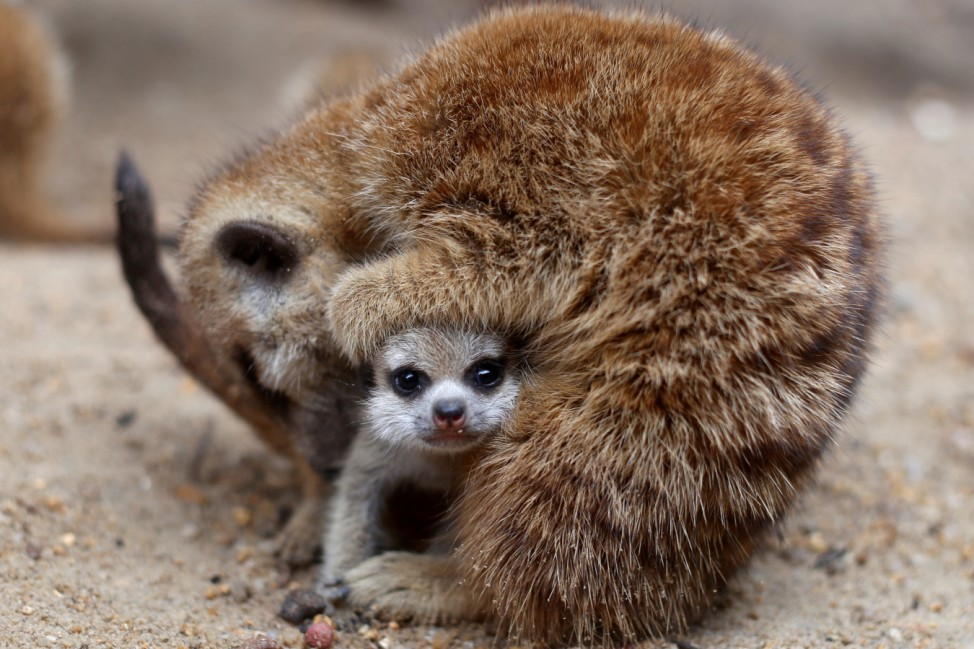 One of four newly born meerkats is seen at the zoo in Songkhla in southern Thailand