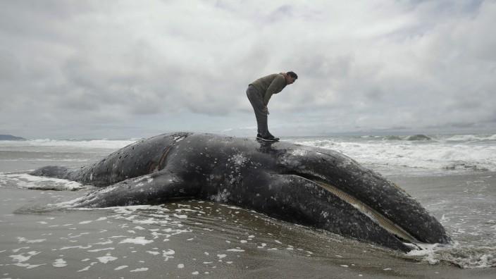 Tote Grauwale an US-Küste