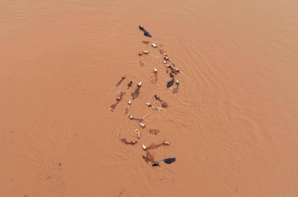 Herd of cattle is seen stranded by floodwaters following heavy rainfall in Jian, Jiangxi