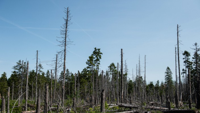 Borkenkäferplage im Harz