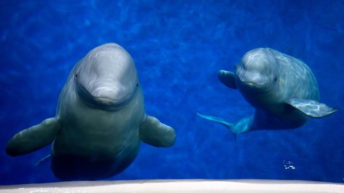 MOBI 1906 Zwei Beluga-Wale