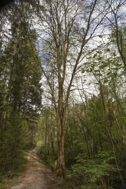 Flatterulme Forstlicher Versuchsgarten Grafrath