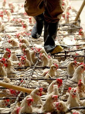 Massentierhaltung Geflügelzucht, China, AFP