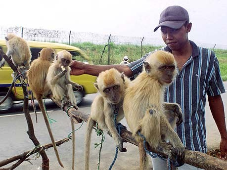 Tierhandel, Indonesien, Affen, Seuchengefahr, AFP