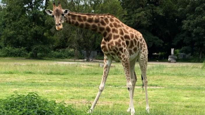 Giraffendame Gaya im Augsburger Zoo
