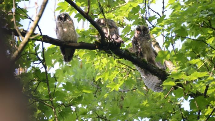 Waldohreulen in Krailling im Wald rund um das Caritas-Altenheim Maria Eich
